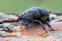 The rhinoceros beetle Stock Images