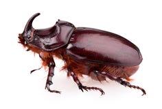 Free Rhinoceros Beetle Royalty Free Stock Images - 41446849