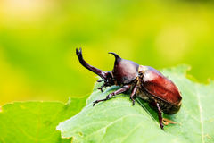 Rhinoceros beetle. For adv or others purpose use stock photo