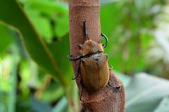 Rhinoceros beetle aka rhino beetle royalty free stock image