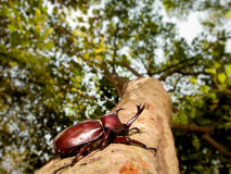Rhinoceros beetle (Allomyrina dithotomus) Royalty Free Stock Photography