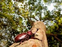Rhinoceros beetle (Allomyrina dithotomus) Royalty Free Stock Image