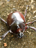 Rhinoceros beetle (Allomyrina dithotomus) Stock Image