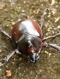 Rhinoceros beetle (Allomyrina dithotomus) Royalty Free Stock Photo