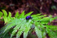 Rhinoceros beetle - Arthropoda on fern leaf in rainforest.  Royalty Free Stock Image
