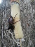 Rhinoceros beetle caught and tired on sugar cane Royalty Free Stock Image