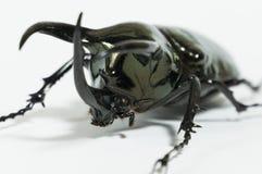 Rhinoceros beetle Chalcosoma caucasus, Rhino beetle,Unicorn beetle, Horn beetle isolated. Rhinoceros beetle isolated, Rhino, Hercules Unicorn Horn Royalty Free Stock Image