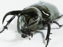 Rhinoceros beetle Chalcosoma caucasus, Rhino beetle,Unicorn beetle, Horn beetle isolated. Rhinoceros beetle isolated, Rhino, Hercules Unicorn Horn Stock Photography