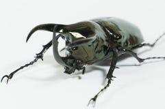 Rhinoceros beetle Chalcosoma caucasus, Rhino beetle,Unicorn beetle, Horn beetle isolated. Rhinoceros beetle isolated, Rhino, Hercules Unicorn Horn Stock Photos