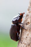 Rhinoceros beetle climb Stock Photo