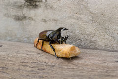 Rhinoceros beetle. Stock Images