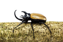 Rhinoceros beetle. Close up shot of Rhinoceros beetle perched on a stump Royalty Free Stock Photos