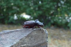 Rhinoceros beetle posing on a stone close up royalty free stock photo