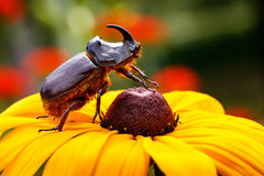 Rhinoceros beetle Royalty Free Stock Photo
