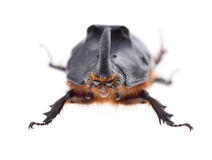 Rhinoceros beetle Royalty Free Stock Photos