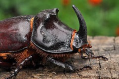 Rhinoceros beetle closeup. Male Royalty Free Stock Images