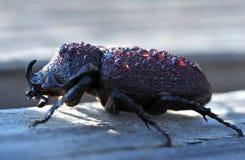 Rhinoceros beetle covered dew water drops,Honduras Royalty Free Stock Image