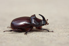 Rhinoceros beetle. Crawling on the ground in summer Royalty Free Stock Photos