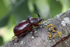 Rhinoceros beetle. Crawling on a tree in summer Stock Photos