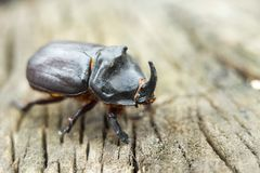 The rhinoceros beetle creeps on the stump. Rhinoceros Beetle. stock images