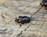 A rhinoceros beetle on a cut of a tree stump. A pair of rhinoceros beetles.  Royalty Free Stock Photography
