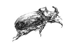 Rhinoceros beetle graphic illustration sketch. Graphic black and white illustration of a rhinoceros beetle, beetle with a horn stock illustration