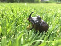 A Rhinoceros beetle in a green grass stock photography