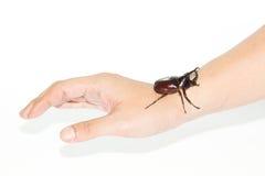 Rhinoceros beetle on hand isolated on white Royalty Free Stock Image