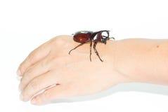 Rhinoceros beetle on hand isolated on white Royalty Free Stock Photo