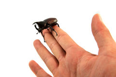 Rhinoceros beetle in hand Royalty Free Stock Images