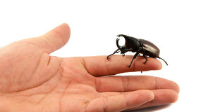 Rhinoceros beetle in hand Stock Photography