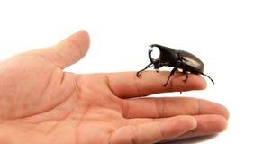 Rhinoceros beetle in hand Stock Photography