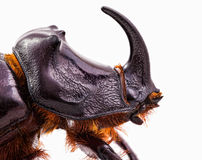Rhinoceros beetle head Royalty Free Stock Photography