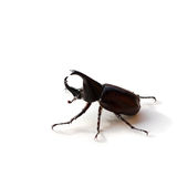 Rhinoceros beetle or Hercules beetle isolated on white Royalty Free Stock Photos