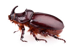 Rhinoceros beetle Royalty Free Stock Images