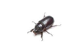 Rhinoceros beetle isolated Royalty Free Stock Image