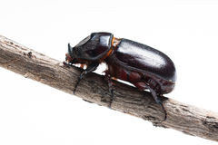 Rhinoceros beetle isolated Royalty Free Stock Images