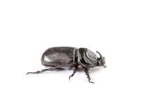 Rhinoceros beetle isolated on white background Stock Image