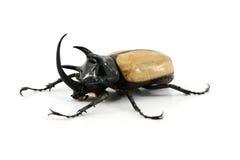 Rhinoceros beetle isolated on white background. Royalty Free Stock Photos