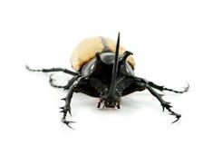 Rhinoceros beetle isolated on white background. Stock Photo
