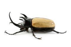 Rhinoceros beetle isolated on white background. Stock Image