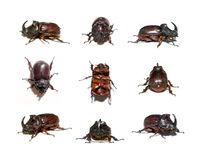 Rhinoceros beetle Royalty Free Stock Photography