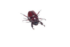 Rhinoceros beetle Stock Photography