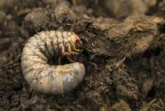 Rhinoceros beetle larva in ground royalty free stock images