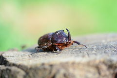 Rhinoceros beetle Stock Photos