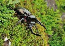 Rhinoceros beetle Royalty Free Stock Images
