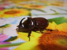 Rhinoceros beetle Stock Photos