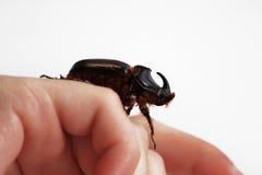 A rhinoceros beetle Oryctes nasicornis runs on a hand on a white background. Royalty Free Stock Photos