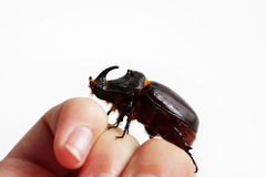 A rhinoceros beetle Oryctes nasicornis runs on a hand on a white background. Stock Photography
