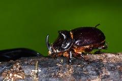 The Rhinoceros Beetle Oryctes nasicornis. Rhinoceros Beetle Oryctes nasicornis on wood Royalty Free Stock Photo